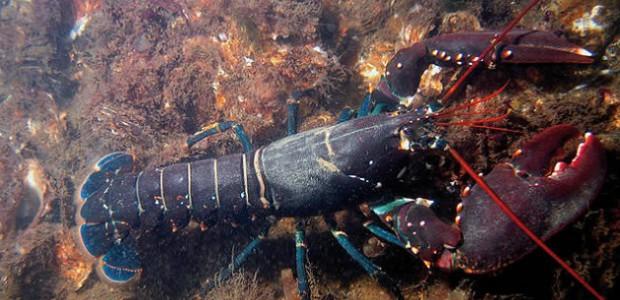 Réintroduction du homard dans l'île de Ré