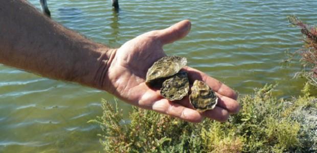 Huîtres du marais de l'île de Ré