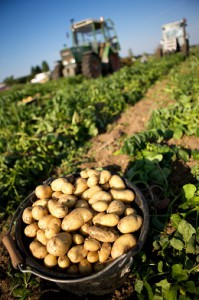 Récolte de la pomme de terre primeur île de Ré