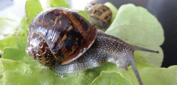 Bientôt un élevage d'escargots sur l'île de Ré ?