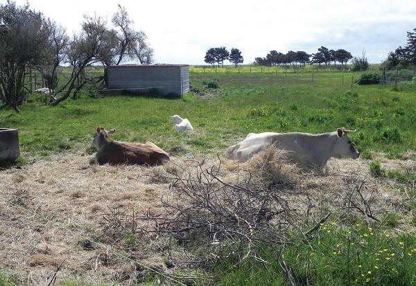 Clochette, la vache de Loix, son veau et la chèvre