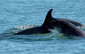 Des dauphins près de Ré