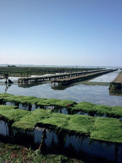 Captage d'Ulves : récolte d'algues par la société Algorythme d'Ars (île de Ré)