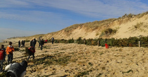 Sappins recyclés pour renforcer les dunes au Bois-Plage (île de Ré)