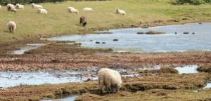Agriculture-élevage : Bientôt des moutons sur l'île de Ré ?