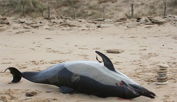 Echouage de dauphin victime de la tempête Zus sur l'île de Ré en mars 2017. © Grégory Ziebacz.