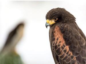 Un aigle sur l'île de Ré; © Mathieu Vouzeleaud - CdC