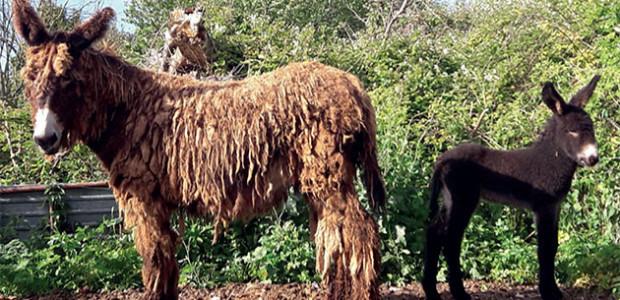 L'ânon hermione de Ré et sa maman baudet du Poitou (élevage de Régis Léau, île de Ré)