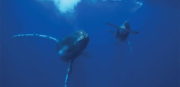 Documentaire Sur la route des Baleines, (France 3), projeté à La Maline, La Couarde-sur-Mer