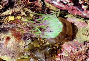 photo d'une anémone de mer pour l'inauguration de l'exposition sur les écluses à poisson de Ste Marie de Ré