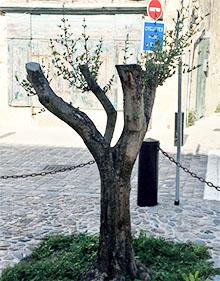 Avec l'accord de la commune, Pascal a replanté un olivier en haut de la rue du Baron de Chantal.