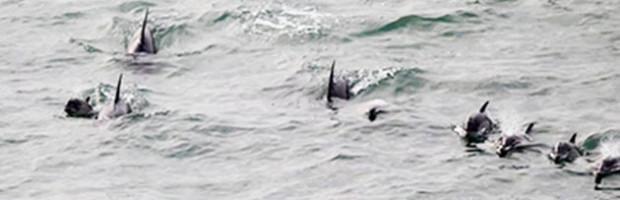 Des dauphins à Rivedoux
