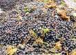 Vendanges 2017 en direct de la coopérative vinicole Uniré