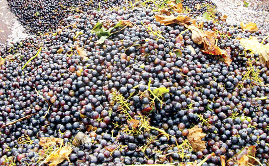 Vendanges 2017 en direct de la coopérative vinicole Uniré