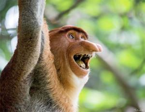 Le Nasique (espèce endémique de Bornéo) ravi de rencontrer enfin un Rétais !