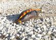 Un Dauphin échoué sur la plage de la Côte Sauvage