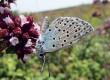 Un joli papillon qu'on ne voit qu'à Rivedoux-Plage