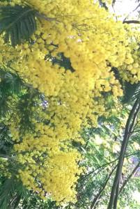 Le mimosa de nos jardins
