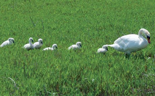 Les oiseaux de Ré et leur couvée