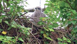 oiseaux-buse-poussin