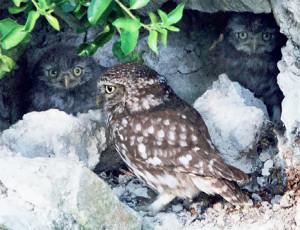 Femelle et petits au nid
