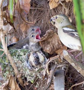 Femelle nourrissant les poussins