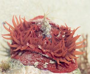 Anémone fraise piégeant une crevette