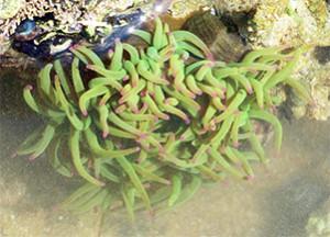 Anémone verte ( jusqu'à 200 tentacules)