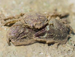 Le Crabe porcellane adulte mesure 10 à 15 mm