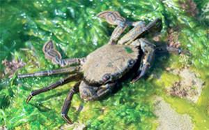 Étrille, Necora puber, très recherchée par les pêcheurs