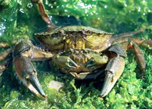 Spécimen mâle portant sa femelle