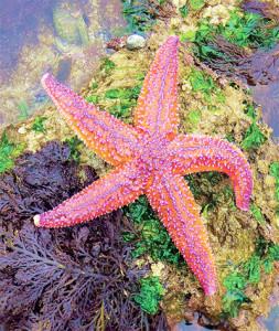 L'Étoile de mer commune, jusqu'à 50 cm