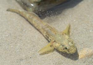 Gobie buhotte sur le sable