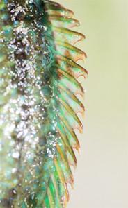 Nageoire dorsale armée avec des rayons épineux très coupants