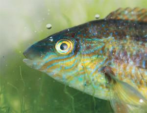 Détails de tête colorée du mâle