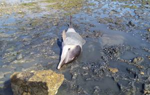 Sauvetage d'un dauphin commun vivant