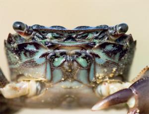 faune-estran-crabe
