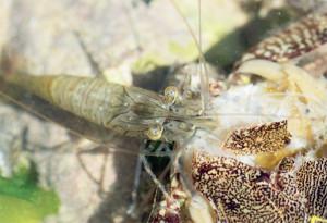 « Folle », Palaemon adspersus sur Crabe mort
