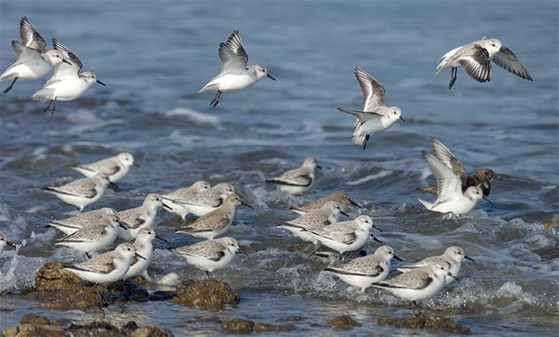 Des bécasseaux sanderlings à marée montante