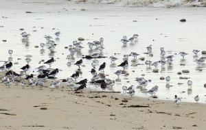Les Bécasseaux, petits lutins des plages
