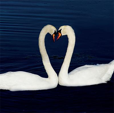 Le cygne, symbole d'amour et de fidélité.