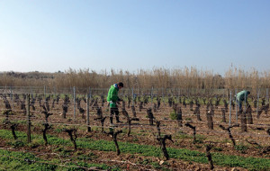 Mission viticulture durable : la coopérative Uniré se mobilise