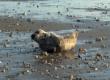 Un petit phoque gris à la plage : Trois petits tours et puis s'en va