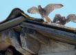 Suivi d'une famille de faucon crécerelle