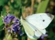 Découvrir les papillons de jour
