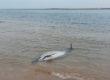 Un bébé phoque et de nombreux dauphins sauvés au Nord de l'île